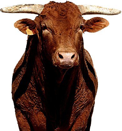 Brown Bull on FORCO Bull Builder