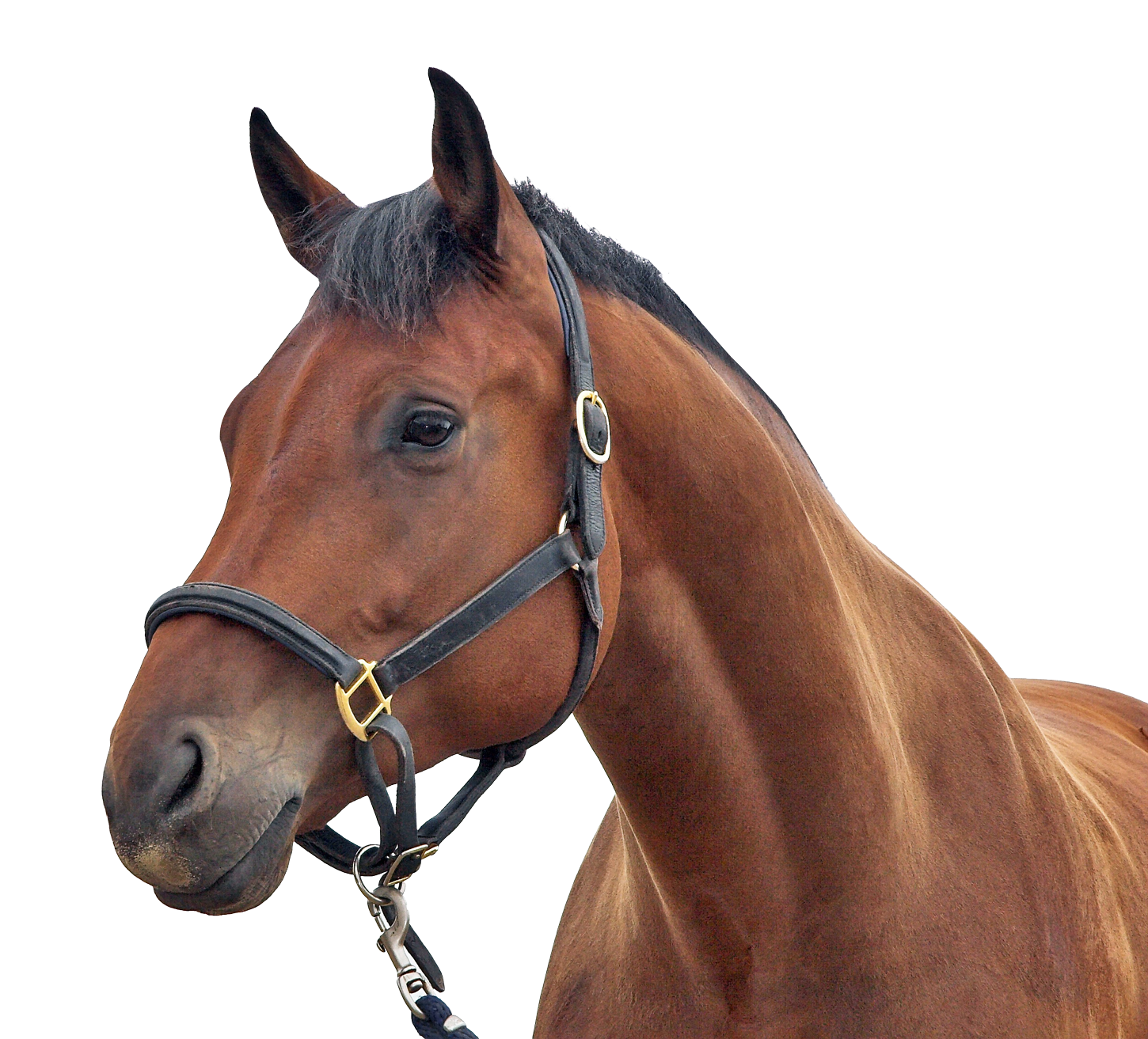 Brown Horse Wearing Reins on FORCO Digestive Fortifier